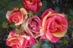 Sadnice ruža P5220066