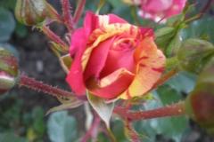 Sadnice ruža P5220069