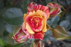 Sadnice ruža P5220070
