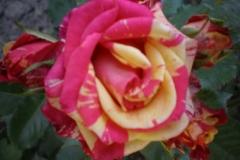 Sadnice ruža P5220071