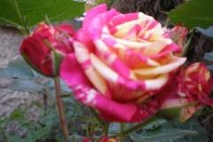 Sadnice ruža P5220073