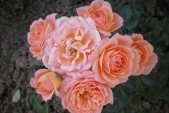 Sadnice ruža P5230078
