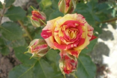 Sadnice ruža P5230079