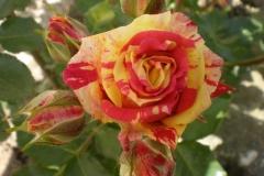 Sadnice ruža P5230081