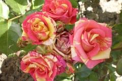 Sadnice ruža P5230082
