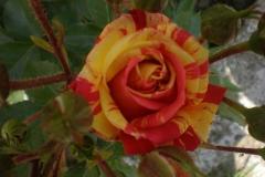 Sadnice ruža P5230083