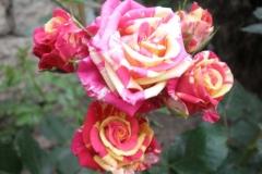 Sadnice ruža P5230101