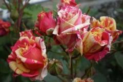 Sadnice ruža P5230102