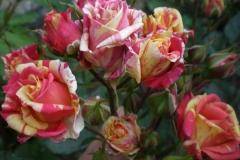 Sadnice ruža P5230103