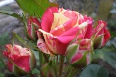 Sadnice ruža P5230104