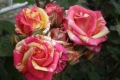 Sadnice ruža P5230105