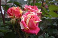 Sadnice ruža P5230108
