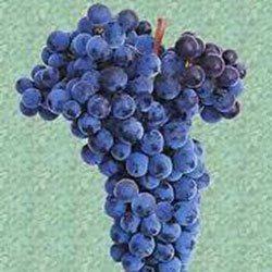 Vinska Sorta Loznog Kalema Merlo