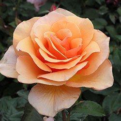 ruže čajevke brandy