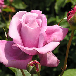 sadnice ruža čajevke šarl de gol