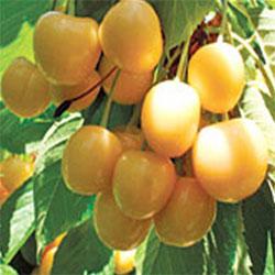 sadnice trešne droganova žuta
