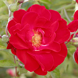 ruže mnogocvetnice alain