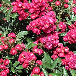 patuljaste ruže alberich