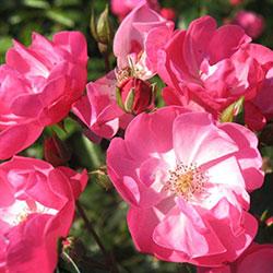 sadnice ruže puzavice angela