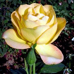 sadnice ruža čajevke ani denike
