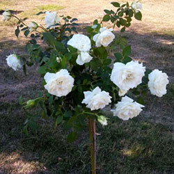 sadnice ruže stablašice avalanš