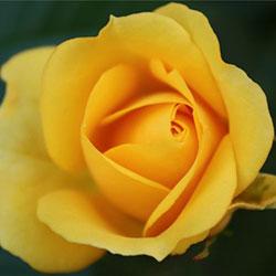 mini ruže baby gold