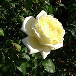sadnice ruže puzavice casino