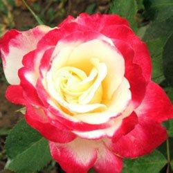 sadnice ruže stablašice dabl dilajt
