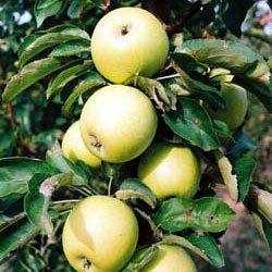 stubaste jabuke đerdan