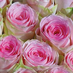 sadnice ruža čajevke dolče vita
