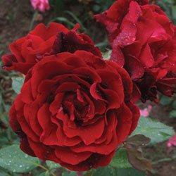 Sadnice Ruža Puzavica