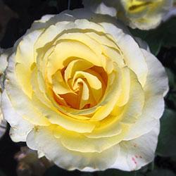 ruže čajevke elina