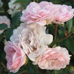 stubasta ruža feri
