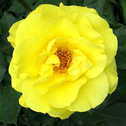ruže polijante fresia