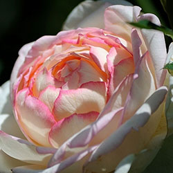 sadnice ruža čajevki gigia
