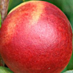 sadnice nektarine Fantazija