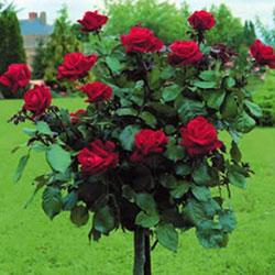 sadnice ruže stablašice ingrid bergman