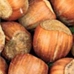 sadnice lešnika Istarski Dugi