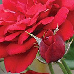 sadnice ruža čajevki jelica
