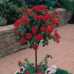 stubasta ruža kardinal
