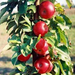 stubaste jabuke kraljica čardaša
