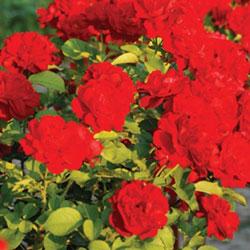stubasta ruža lili marlen