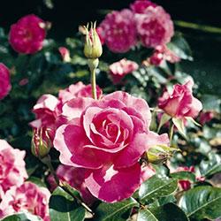 ruže polijante meiland