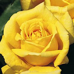 sadnice ruža čajevke marko polo