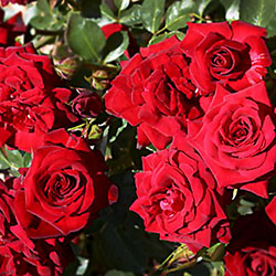 ruže polijante nicolo paganini