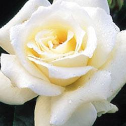 sadnice ruža čajevke pascaly
