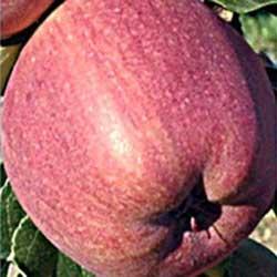 jabuka red čif