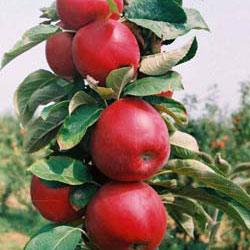 stubaste jabuke rumeno vreteno
