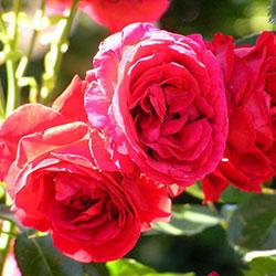 ruža penjačica simphaty