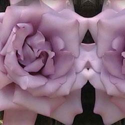 sadnice ruža čajevke sisi